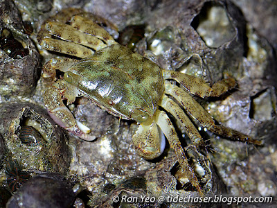 Purple Climber Crab (Metopograpsus sp.)