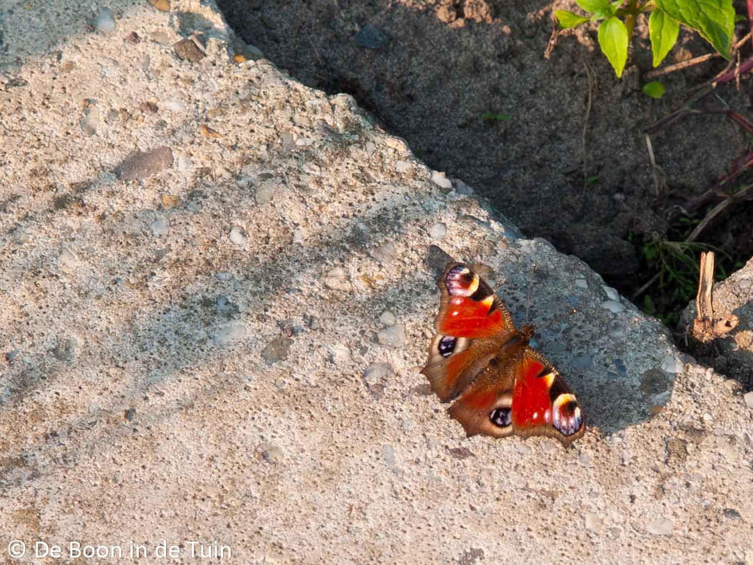 dagpauwoog vlinder vlinders moestuin volkstuin