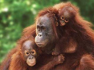 foto orang hutan