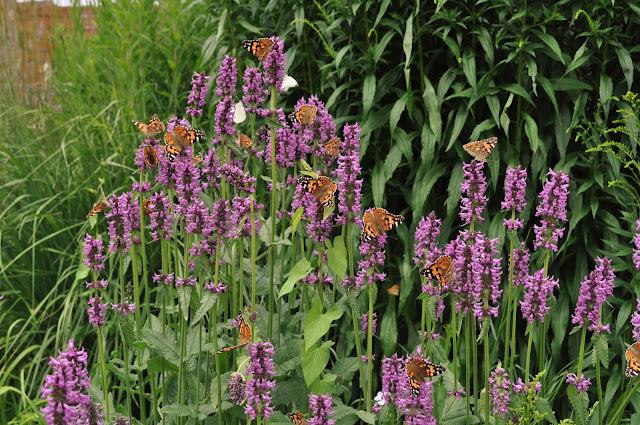 für den Garten ein Super-Schmetterlingsmagnet die wunderschöne Kap-Iris !