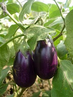 Use of Eggplant