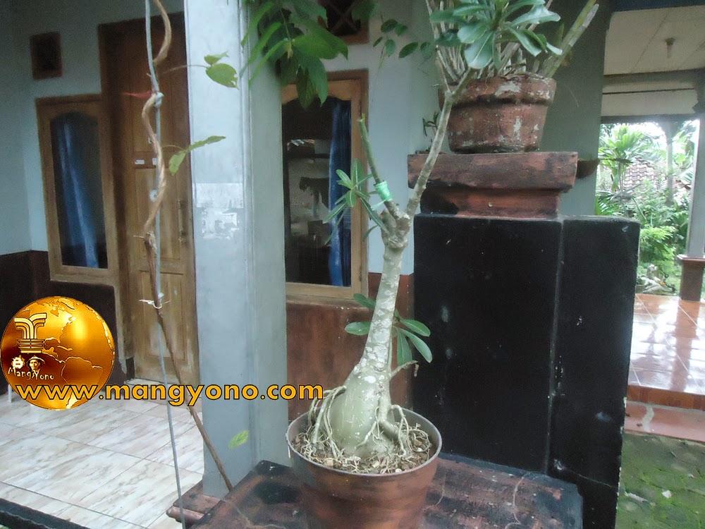 FOTO : Penyambungan Adenium / Kamboja Jepang di Pot