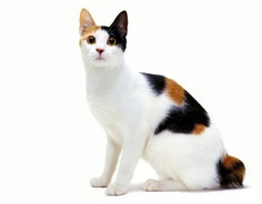 Size and Weight of Japanese Bobtail Cat