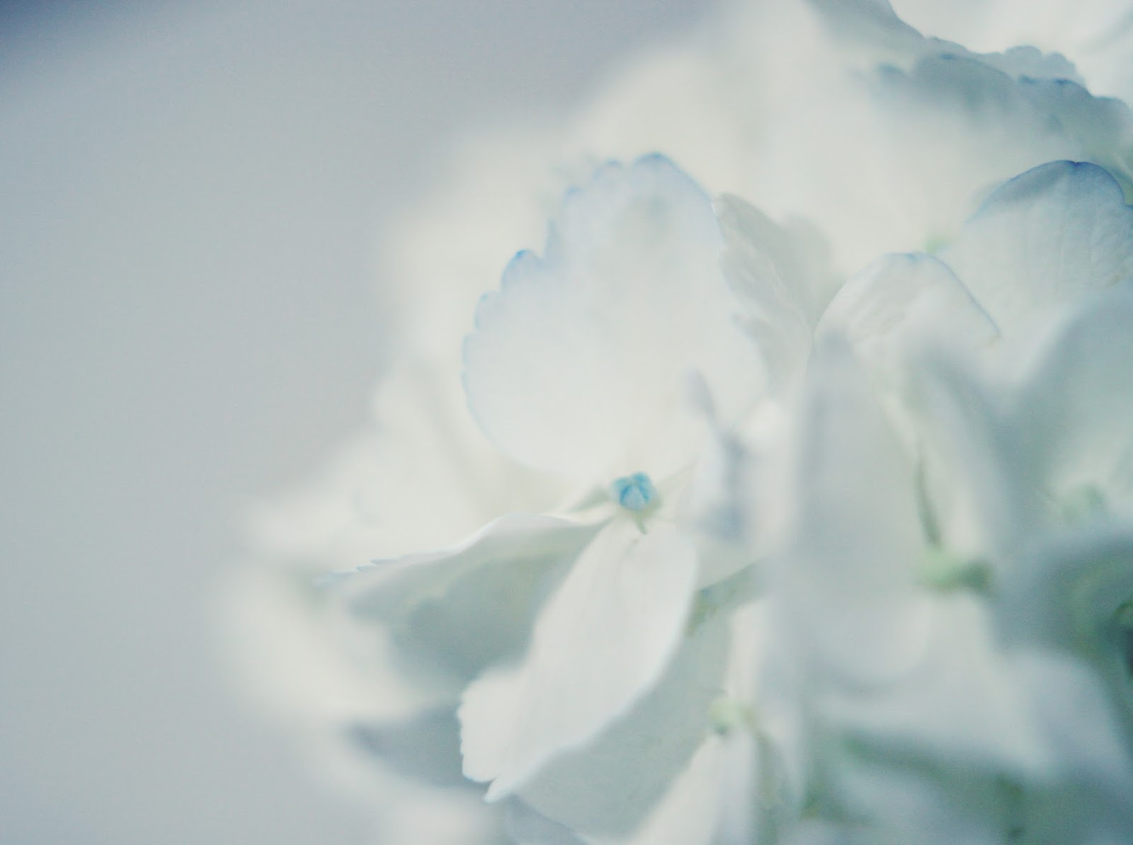 white-hydrangea-touch-of-blue-macro-floral