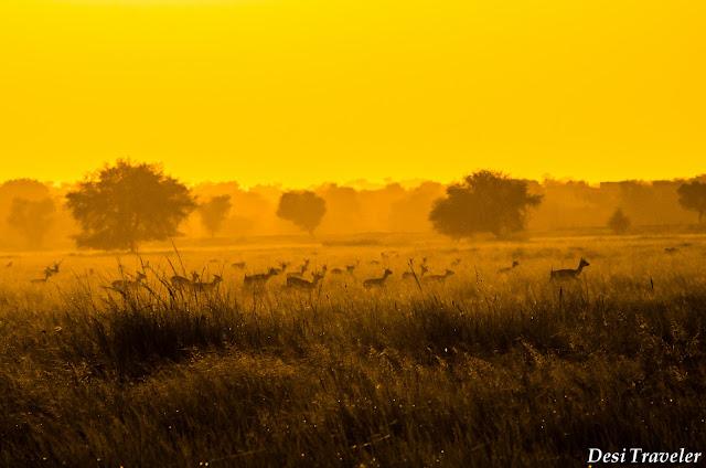 golden sunset in Tal Chappar Rajasthan