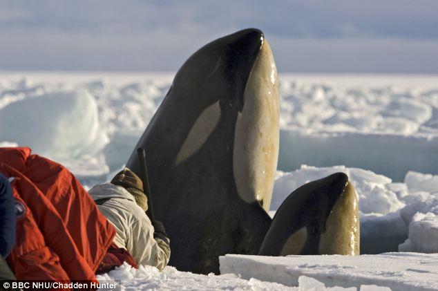 Orca Eating Polar Bear No chance: killer whales