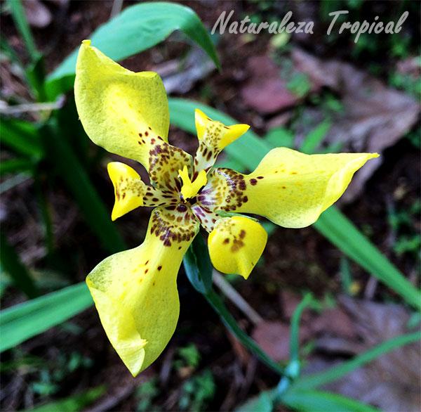 Flor característica del Iris amarillo, Trimezia sincorana