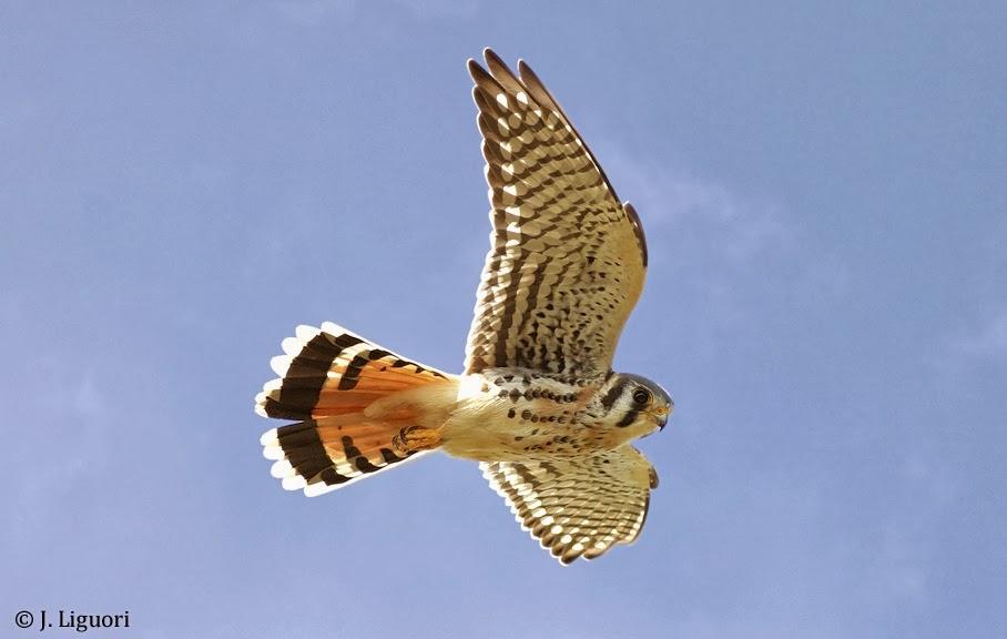 Hawkwatch International - Tail Patterns of Raptors