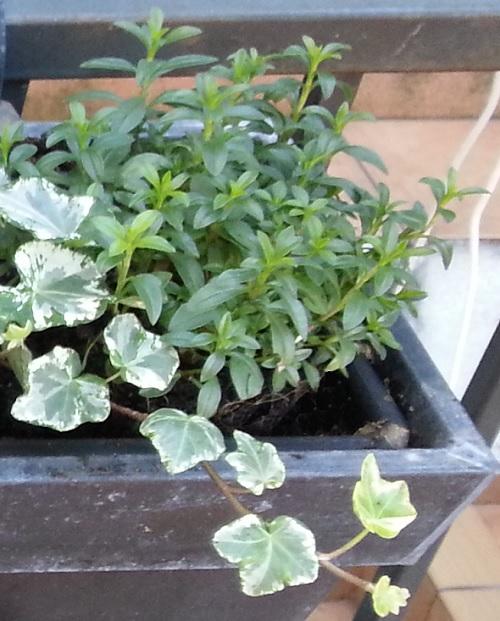 Hierba de olivas ajedrea guia de jardin for Ajedrea de jardin