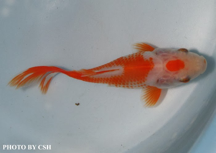 Red and white comet goldfish - photo#21