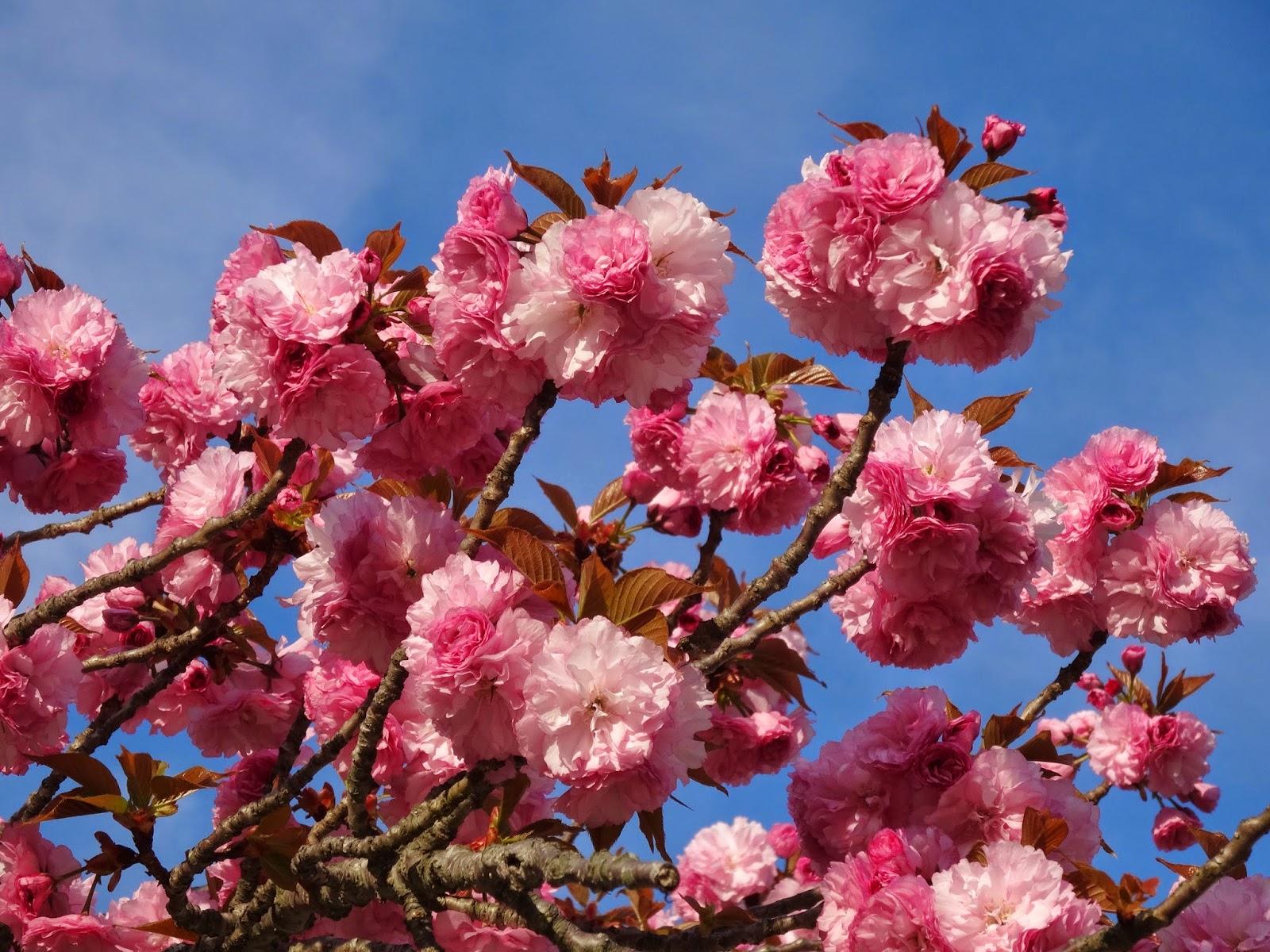 Love Joy And Peas Cherry Blossom Pom Pom Flower Photos Haiku Poem