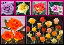 Variedad de rosas del Ecuador