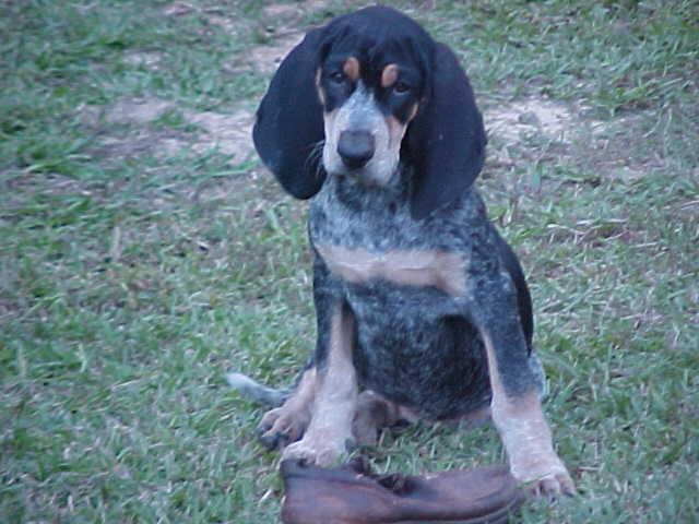 Coonhound Dogs For Sale