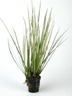 Jardineria, Catalogo de Plantas: Acorus gramineus