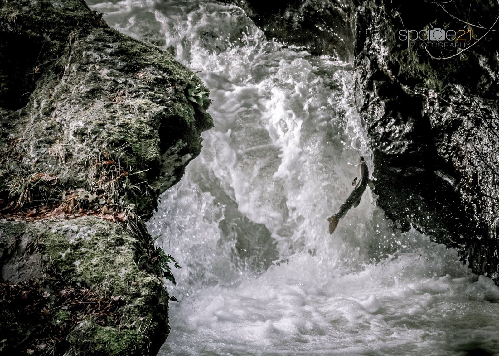 salmon fly atlantic salmon jumping at buchanty spout on
