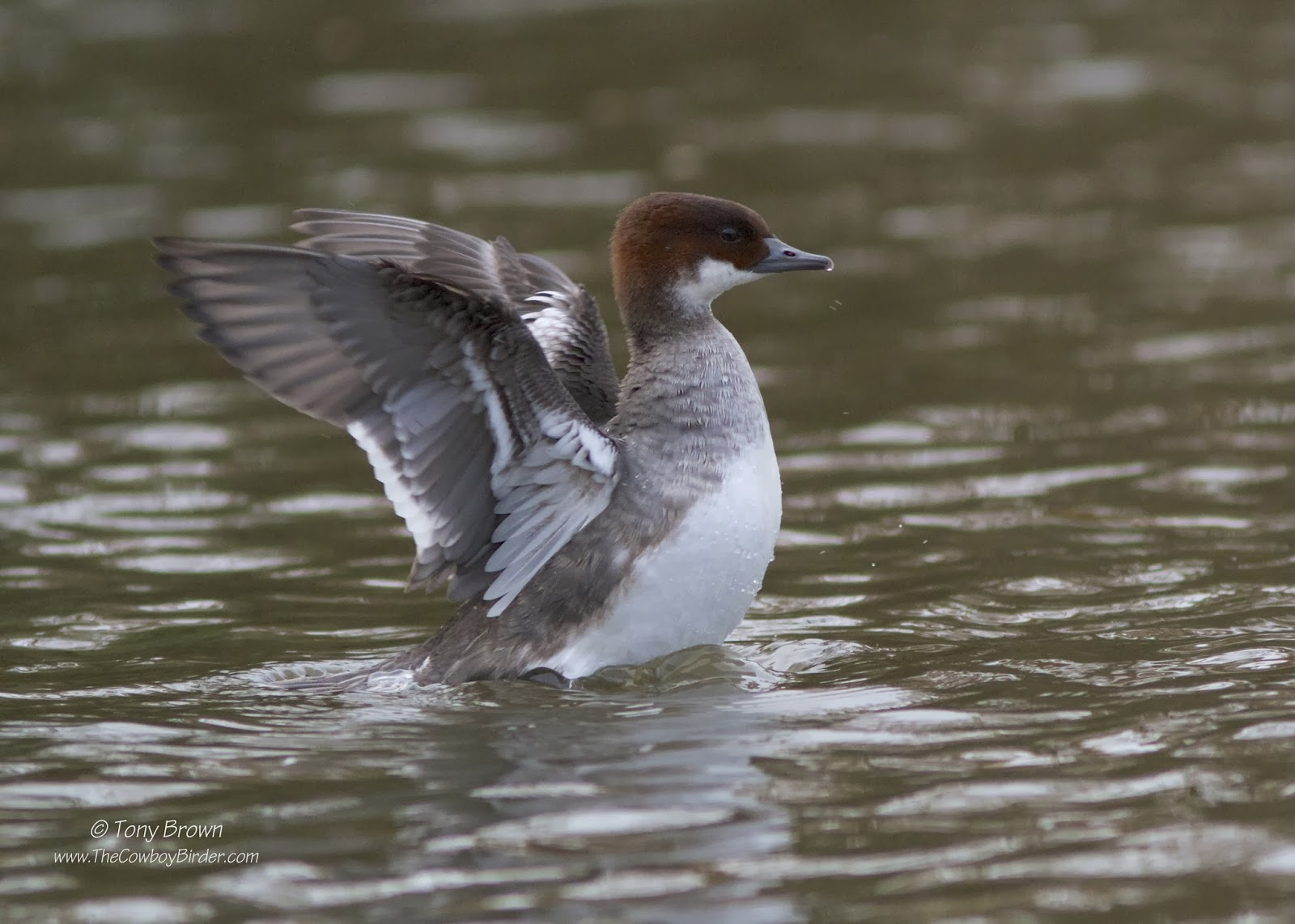 Redhead, Ducks, Epping Forest, Connaught Water, London