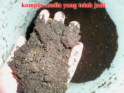 kompos azolla microphylla