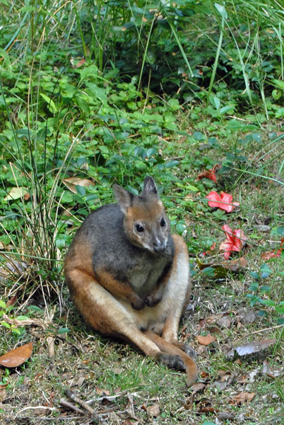 pademelon pet - photo #27