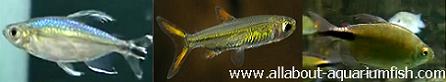 African tetra fish