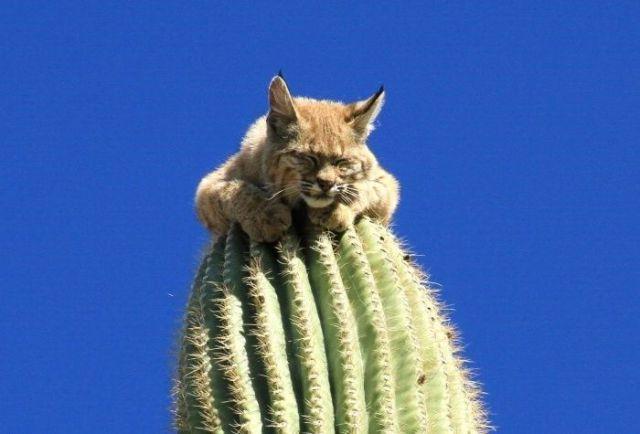 Kucing terlekat atas pokok kaktus setinggi 45 kaki