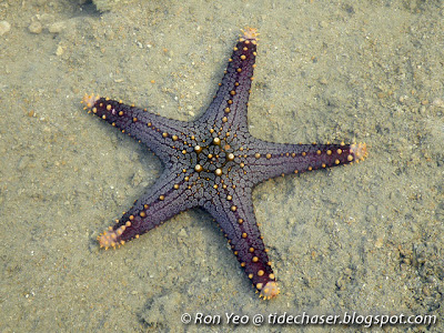 mammillated sea star (Pentaceraster mammilatus)