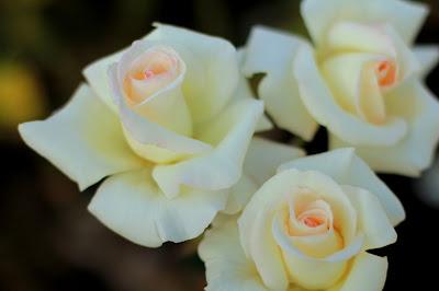 Ivory Roses Photo