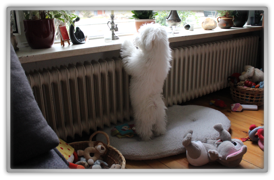jofee saccone joly maltese dog puppy 23 weeks old 5 months cute adorable marjolein kucmer floof fluffy pet shower 1