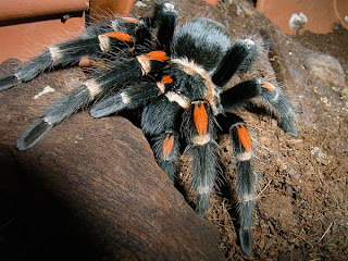 4 tarantula hair %Category Photo