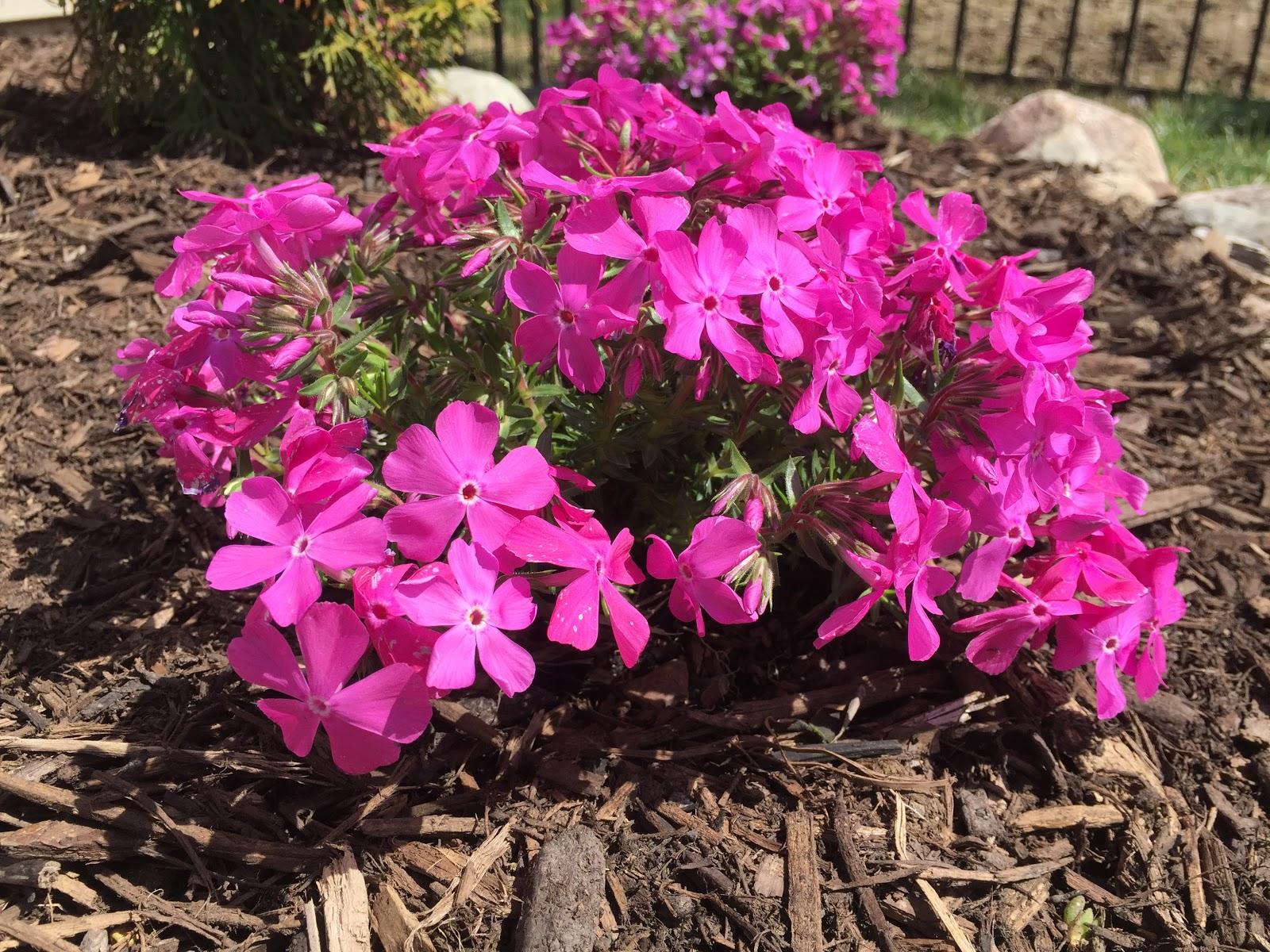 phlox subulata 39 drummond 39 s pink 39 backyard neophyte landscaping blog. Black Bedroom Furniture Sets. Home Design Ideas