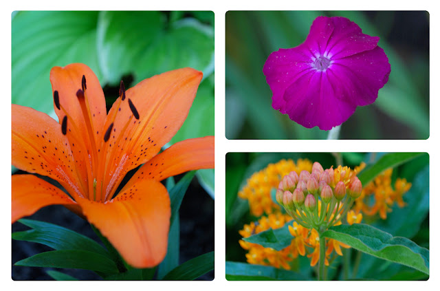 orange Lilly, pink Mouse Ear and Milk Weed