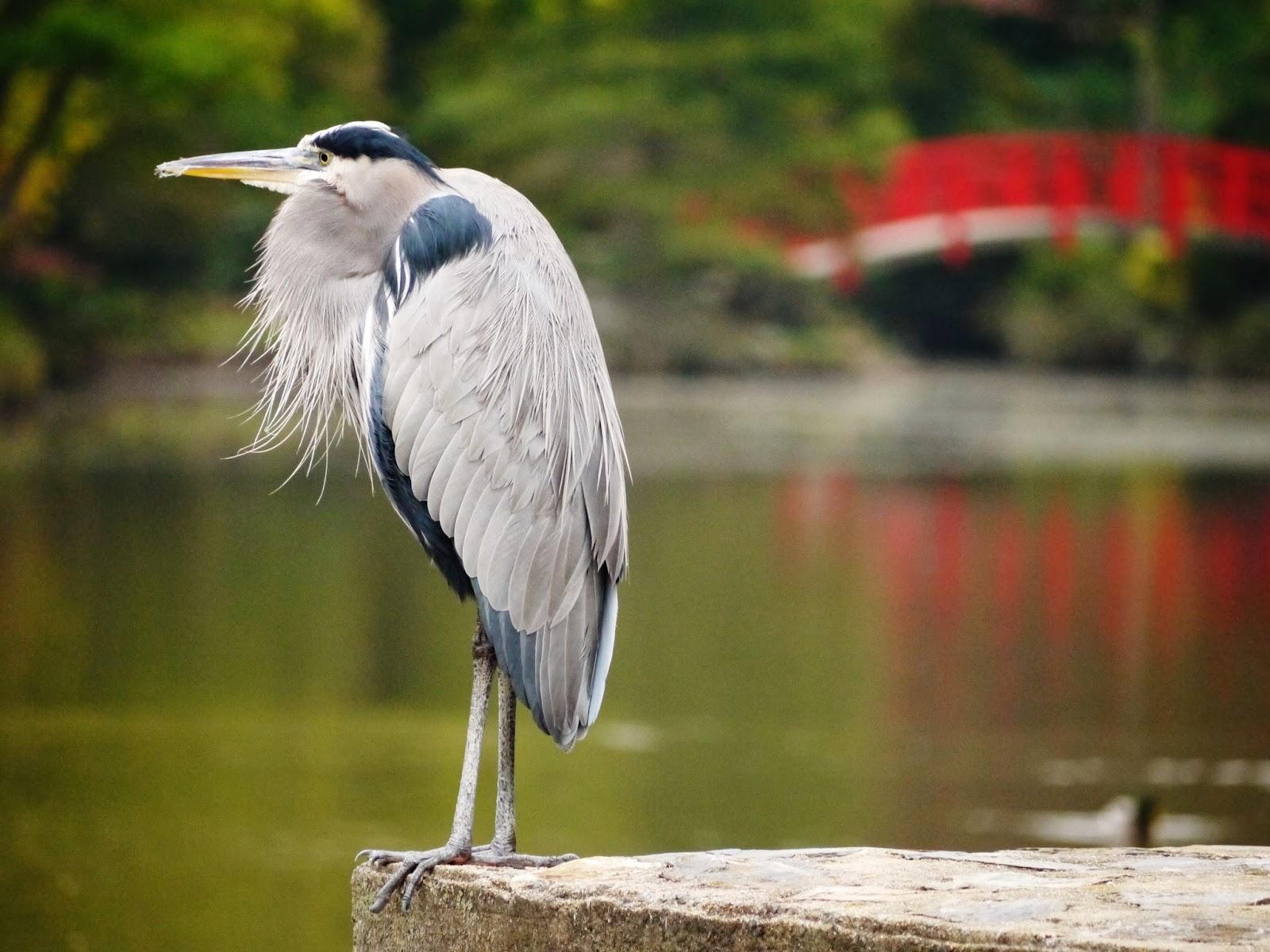 The wildlife garden in the h l blomquist garden of native plants - Great Blue Heron