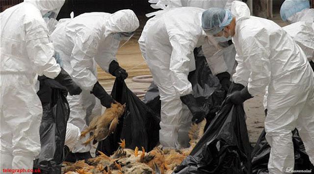 china-musnahkan-unggas-flu-burung