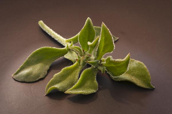 Ficoide glaciale, glacier lettuce, Mesembryanthemum crystallinum