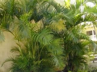 Palmeira-areca – Dypsis lutescens