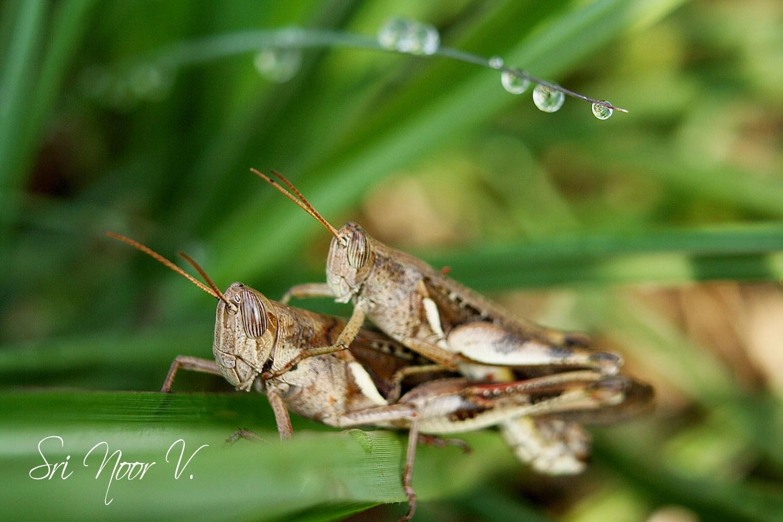 foto belalang - gambar hewan - foto belalang