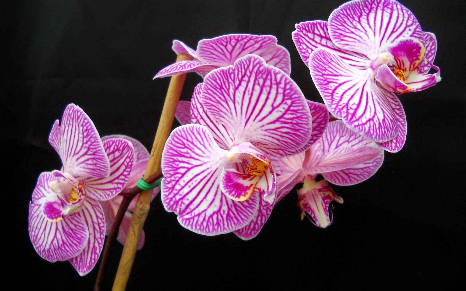 Beautiful-pictures-of-Purple-orchid-flower-black-BG.jpg