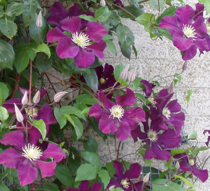 clematis jackmanii submited images. Black Bedroom Furniture Sets. Home Design Ideas