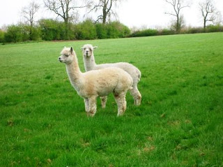 Llamas at Ashby Parva