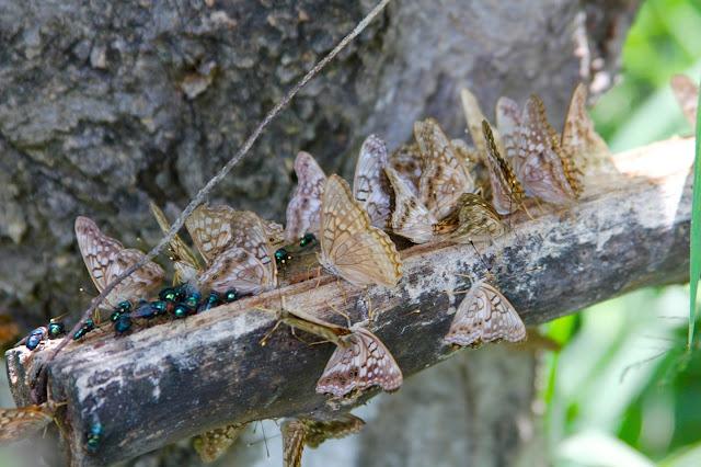Tawny Emperor Butterflies