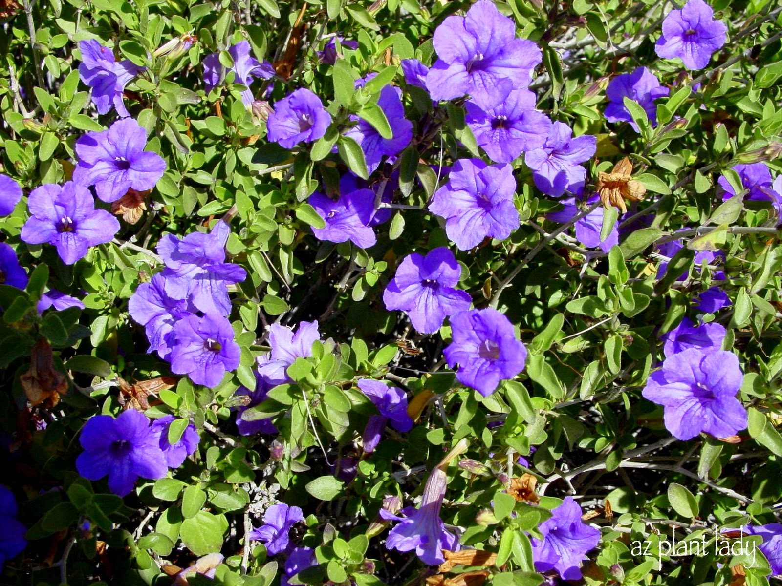RAMBLINGS FROM A DESERT GARDEN Purple Flowering Beautiful Fuss Free Shrub