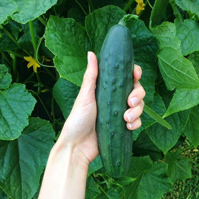 Homegrown Cucumbers