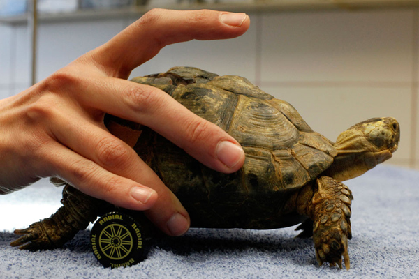 wheel chair turtle