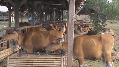 sapi dikandang