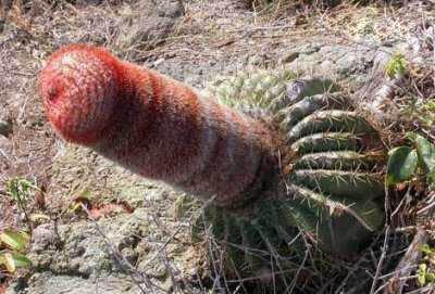 Kaktus yang Mirip Perabot Pria...Aneh !