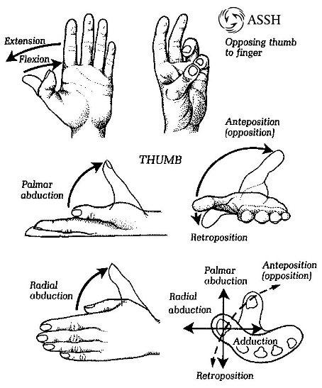 anatomi tangan