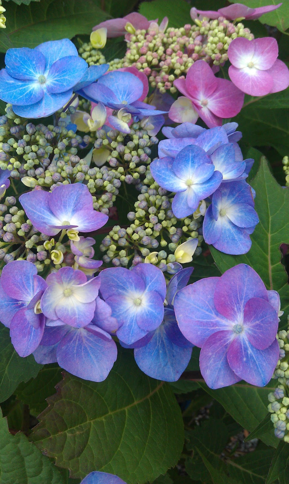Twist & Shout Hydrangeas Landscape Design