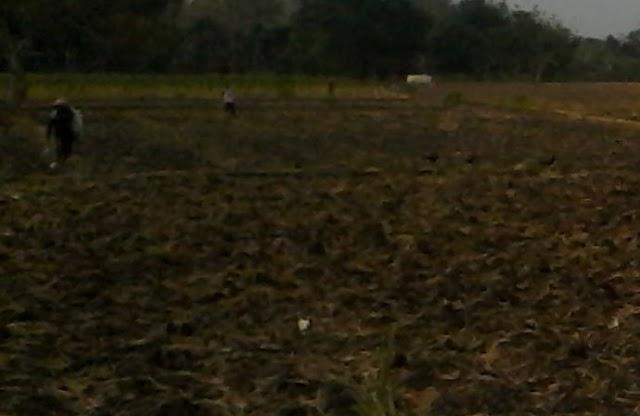 Hujan Mulai Turun Petani di Ngejeng Mulai Tanam Polowijo