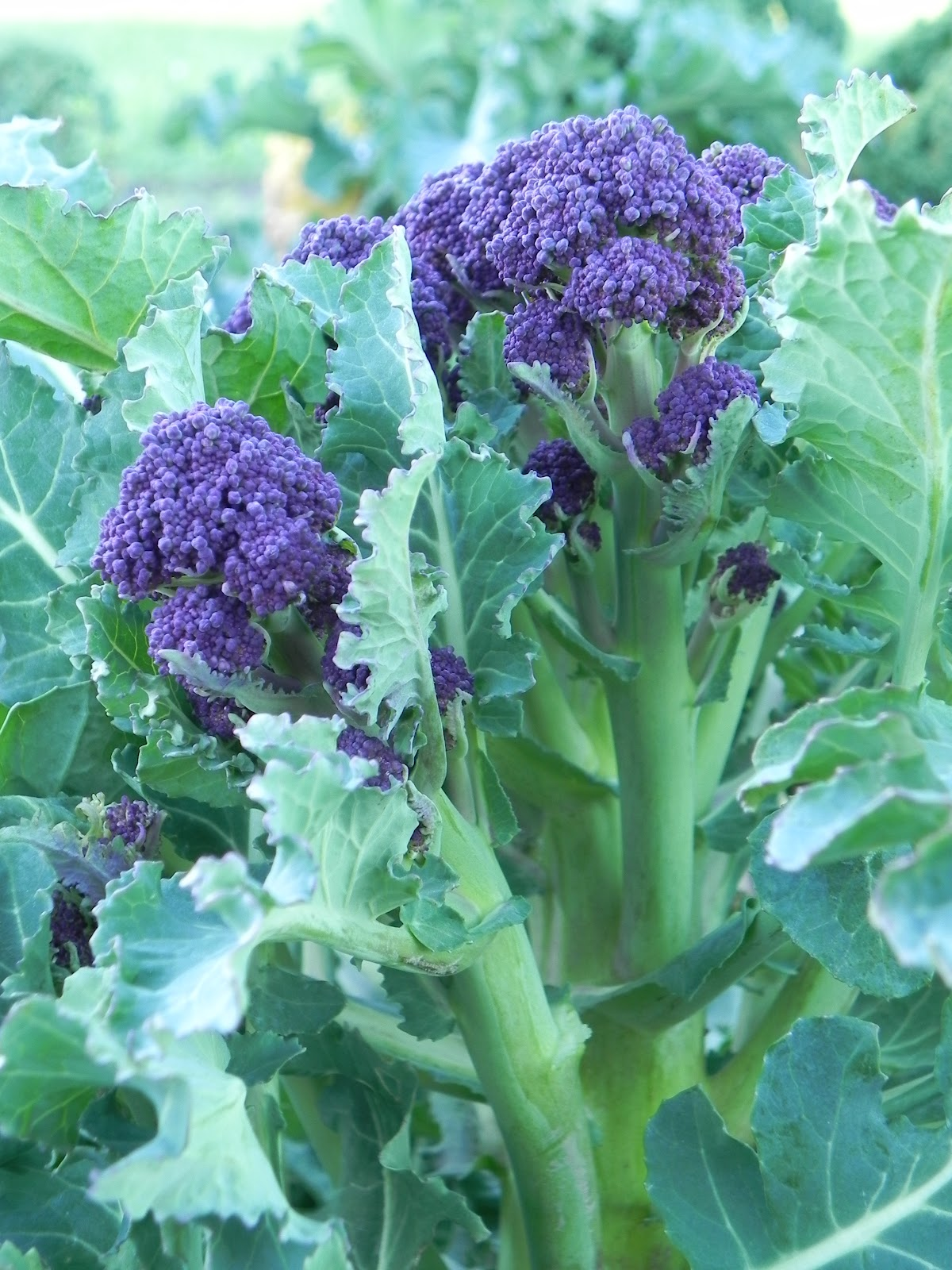 Overwinter Purple Sprouting Broccoli Seeds Available