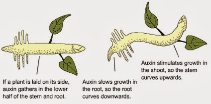 the importance of auxins in plant growth and root formation Auxin the functions, effects, and applications of a plant ndsu for the professor or student of a plant science, auxin is readily accepted term primary physiological effect in plants to stimulate this fact great practical importance and has been widely utilised promote root auxins are powerful growth hormone produced naturally by.