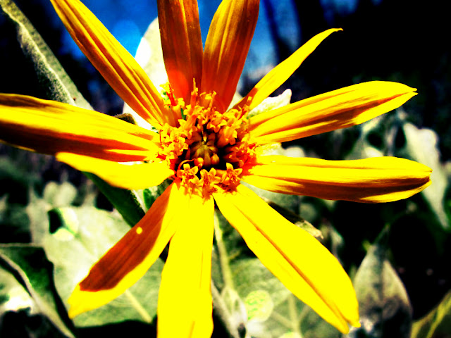 mule ear flower sierra nevada mountain truckee spring